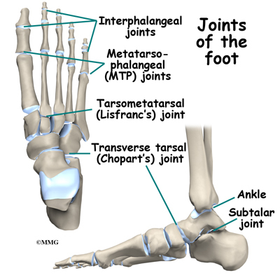 Toe Anatomy Joint