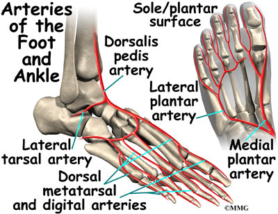 A Patients Guide To Ankle Anatomy Houston Methodist