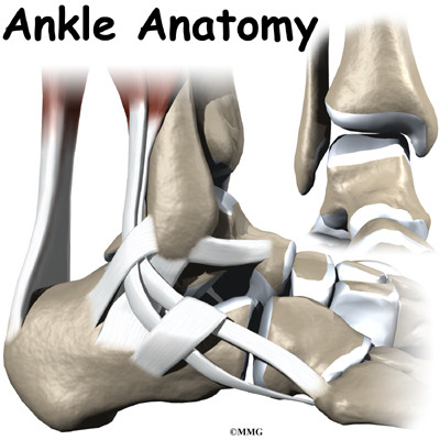 The ankle joint acts like a