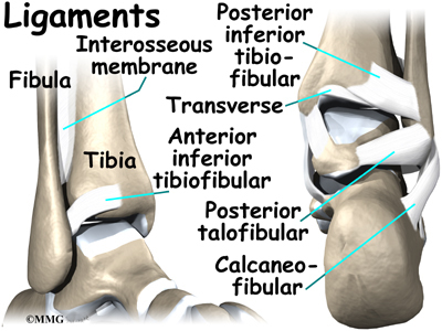 tendons of foot. tendons in feet and toes~