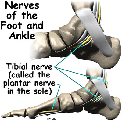 A Patient's Guide to Ankle Anatomy | Houston Methodist