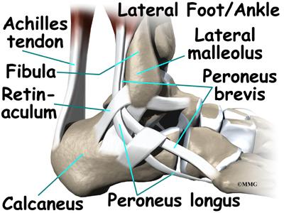Ankle Anatomy Orthogate