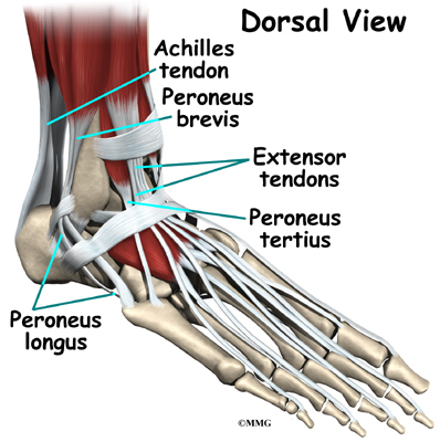 Ankle anatomy ligaments
