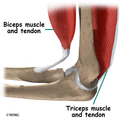arm tendons diagram elbow anatomy orthopedic surgery  algonquin  il  barrington  il  elbow anatomy orthopedic surgery