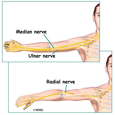 Elbow Anatomy Orthogate