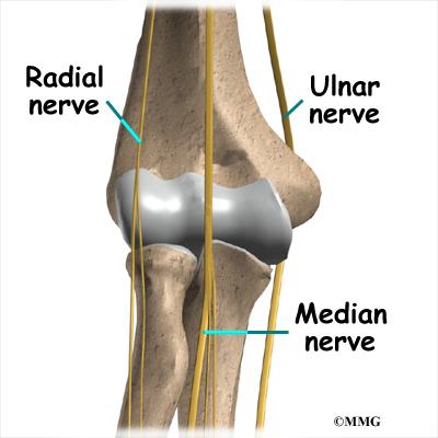 Radial+nerve+anatomy+ppt