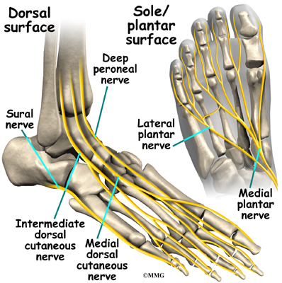 Intermediate Dorsal - Podiatry, Orthopedics, & Physical Therapy