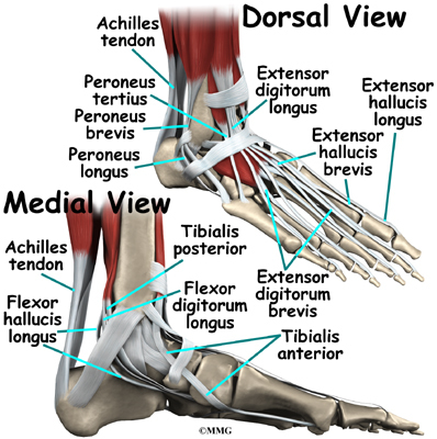 affected area seems to be the area labeled Extensor Digitorum Longus.