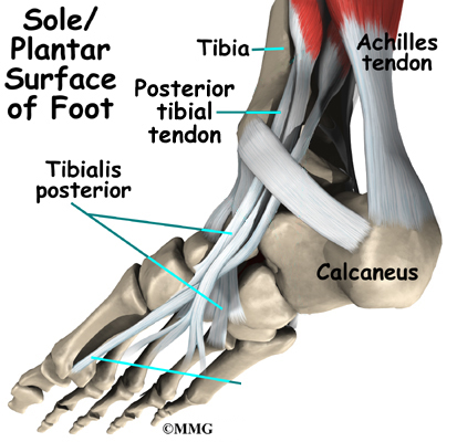Sole/Plantar Surface of Foot