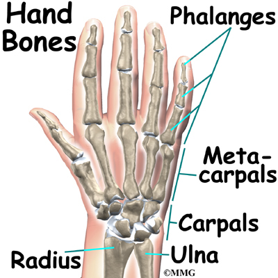 Metacarpals- short, long bones, which are thinner than the metatarsals