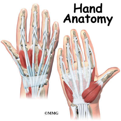 Few structures of the human anatomy are as unique as the hand