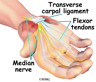 The median nerve and flexor tendons pass through the carpal tunnel.