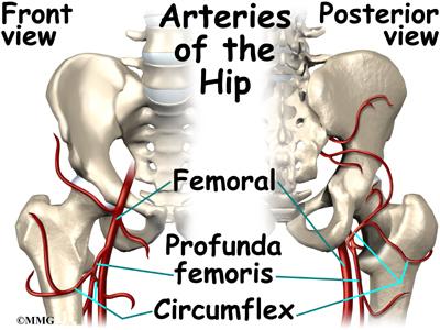 Hip conditions hip anatomy houston methodist orthopedics