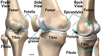 knee femur diagram knee anatomy orthogate  knee anatomy orthogate