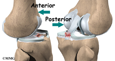 Knee Joint Knee_anatomy04