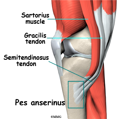 Pes anserine bursitis of the knee orthopedic surgery algonquin the pes anserine bursa is a small lubricating sac between the tibia shinbone and the hamstring muscle the hamstring muscle is located along the back of ccuart