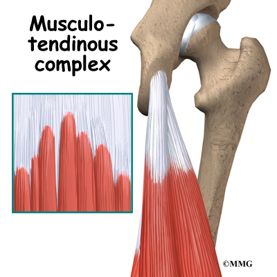 Hamstring Injuries Orthogate