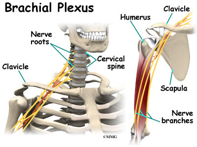 http://www.eorthopod.com/images/ContentImages/spine/spine_cervical/cervical_burners/cervical_burners_anatomy01.jpg