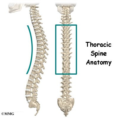 Thoracic Spine Anatomy | Orthogate