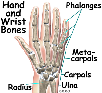 Bone that connects the thumb to the wrist