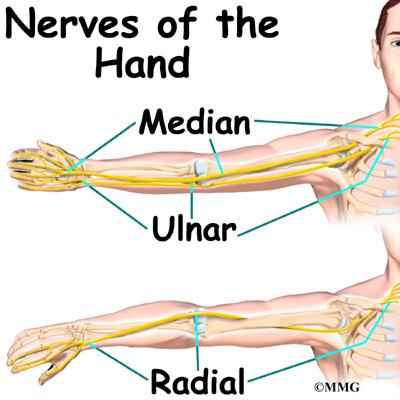 Arm anatomy nerves