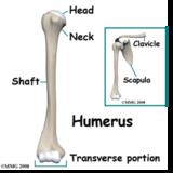 Arm (Humerus)