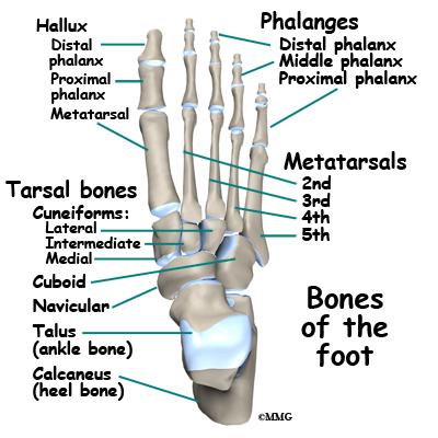 Toe joint anatomy
