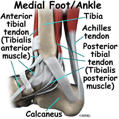 Foot tendon anatomy