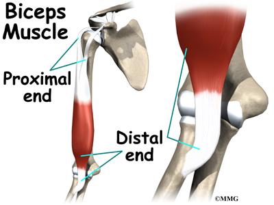 elbow_distal_biceps_rupture_anat02.jpg