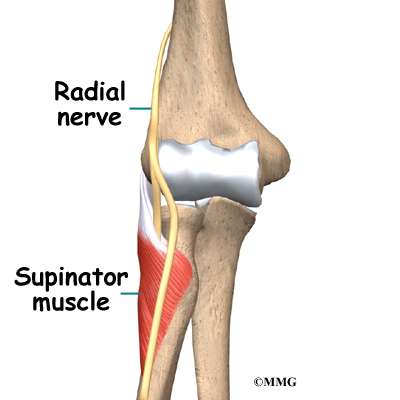 Elbow Radial Tunnel Syndrome Anatomy, Supinator Muscle