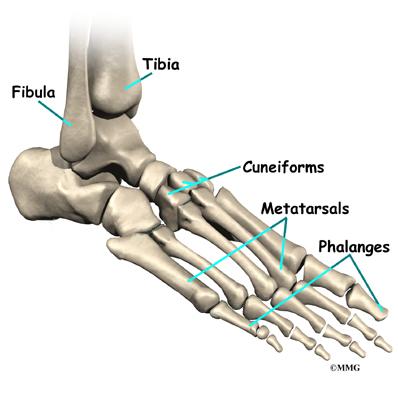 Bones of foot anatomy