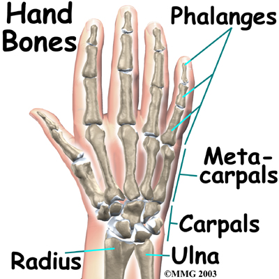 The bones in the palm of the hand are called metacarpals.