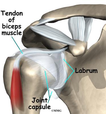 Shoulder anatomy labrum