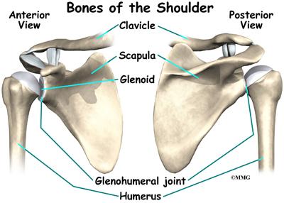 Анатомическое строение нормального плечевого сустава.